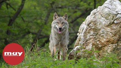 Cachorros de lobo gris vistos en Colorado por primera vez en 80 años