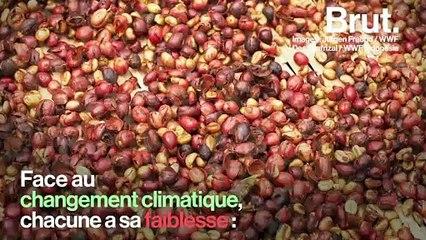 60 % des espèces de café sauvage pourraient disparaître