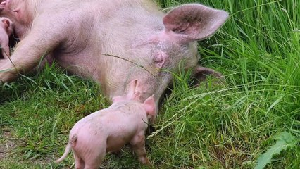 Pig gives birth to 10  piglets in Ollerton, Nottinghamshire