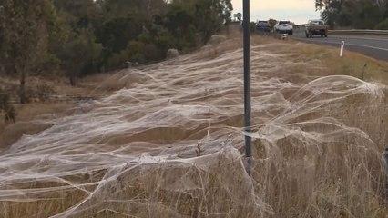 Ganze Landstriche mit Netzen bedeckt: Spinnen-Invasion im Süden Australiens