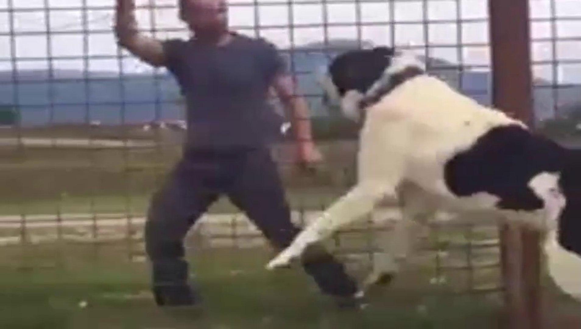 ALABAYI KIZDIRAN ADAM - ANGRY ALABAi SHEPHERD DOG