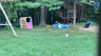 Mother Bear And Her Cubs Play Happily In Person's Backyard