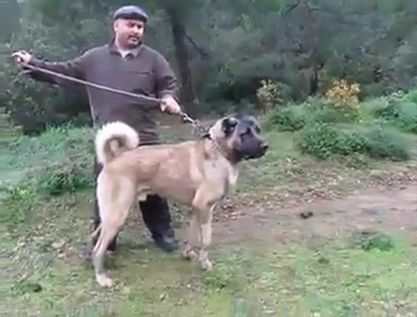 KARABAS SiMiT KUYRUK SUPER FiZiK - GiANT BLACK HEAD SHEPHERD DOG