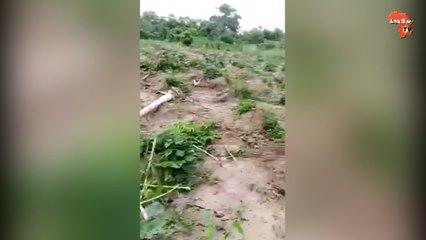 L'éléphant Ahmed libéré du zoo  fait des dégâts à Gbameledougou  dans la Sous-préfecture Satama Sokoro