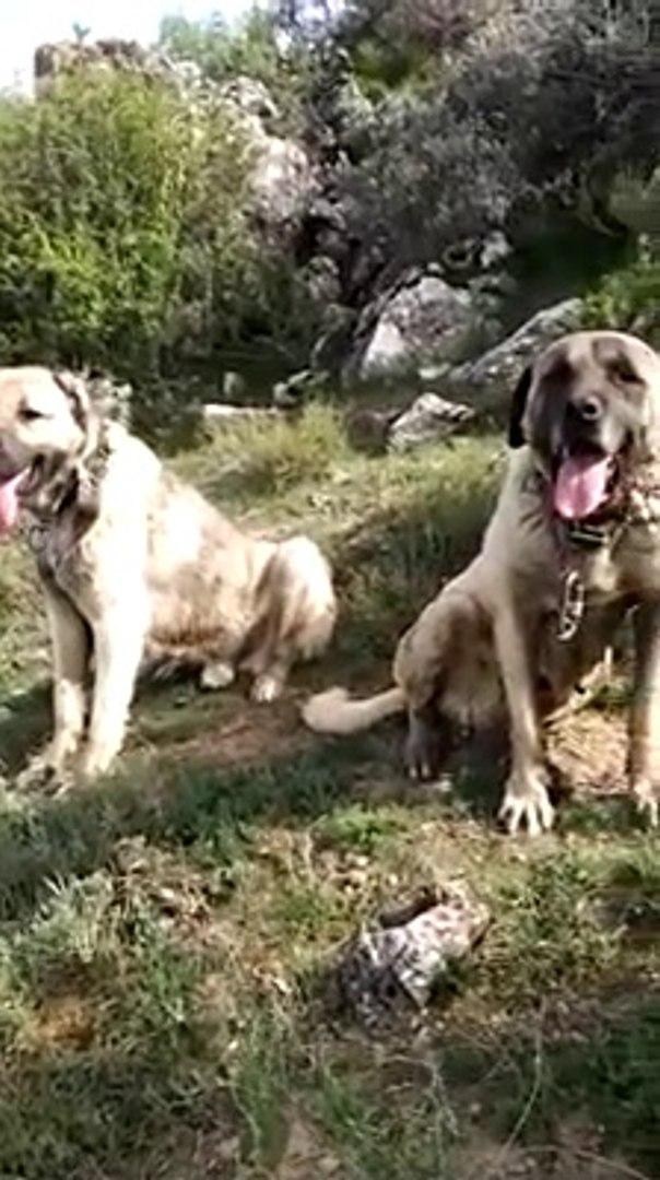 DEVLER HEM DiNLENiYOR HEM GUNESLENiYOR - GiANT SHEPHERD DOGS