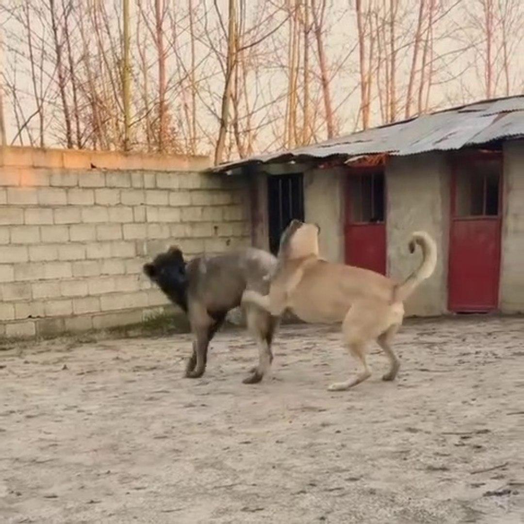 COBAN KOPEKLERi BAHCEDE OYUNDALAR - SHEPHERD DOGS GAME