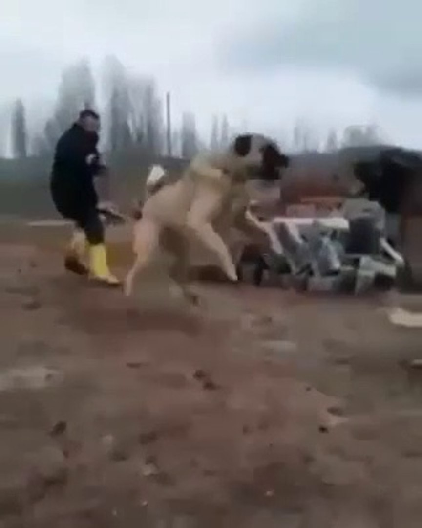 DEVLER KARSI KARSIYA GELDi ATISMA YAPTI - GiANT SHEPHERD DOGS VS