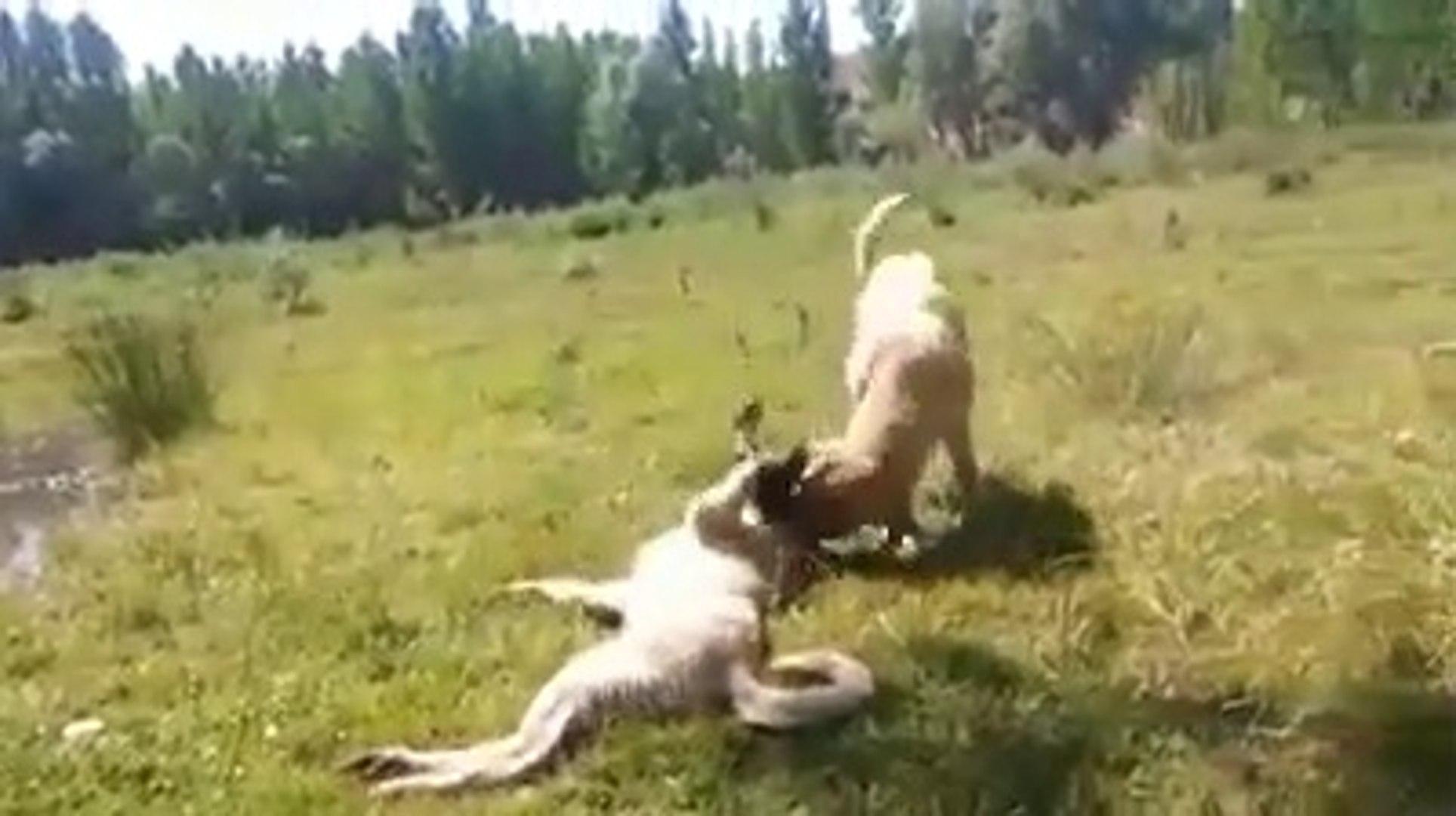 GENC COBAN KOPEKLERiNiN DOGADA MUTLU ANLARI - YOUNG SHEPHERD DOGS