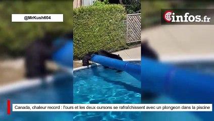 Canada, chaleur record : l'ours et les deux oursons se rafraîchissent avec un plongeon dans la piscine