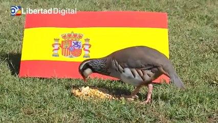 'Tako', la perdiz que pronostica una rotunda victoria de España ante Suiza