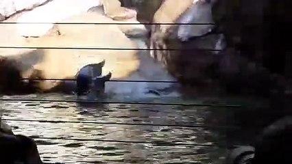 Les papous se taquinent sur l'île de la grotte aux manchots de Pairi Daiza