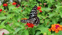 Most Beauty Of Butterfly ,  Butterfly Video ,  Butterfly