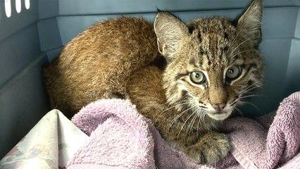 Baby Bobcat Arrives Injured