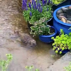 Hedgehog escapes rain water