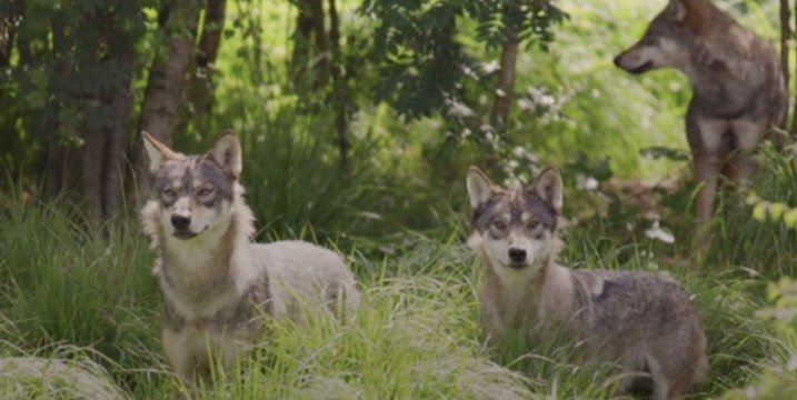 First Gray Wolf Pups Seen in Colorado Since the 1940s
