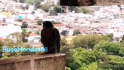 Halcón Peregrino visita la Torre de Tribunales