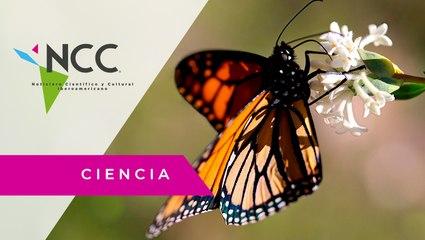 Pesticidas ponen en riesgo el ciclo migratorio de la mariposa monarca
