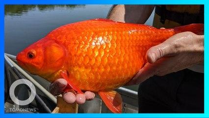 Ikan Mas Raksasa Sebesar Bola Rugby Ditemukan Di Danau - TomoNews