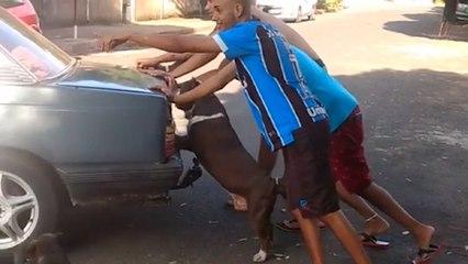 Un perro ayuda a empujar un coche averiado