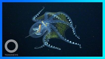 Penampakan Gurita Kaca Langka di Samudra Pasifik - TomoNews