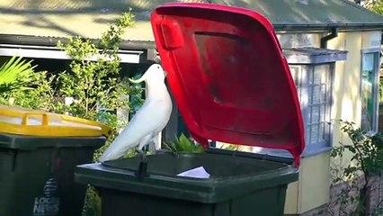 Dos cacatúas abren las tapas de contenedores domésticos para obtener  comida