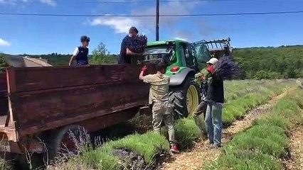 Sur le plateau de Sault, les coupeurs chargent les bouquets de lavande
