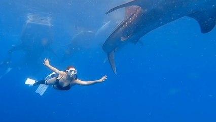 Buzo nada con una manada de tiburones ballena