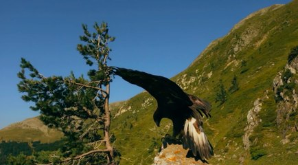 El águila real, un depredador imbatible