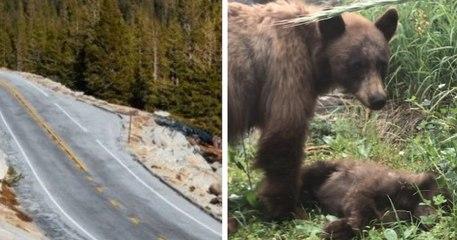 Une maman ours veille sur la dépouille de son petit, mortellement fauché par une voiture dans le parc de Yosemite