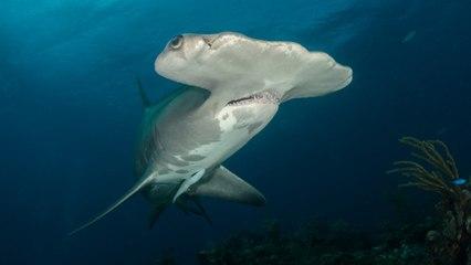 Un nadador tiene un encuentro aterrador con un tiburón martillo
