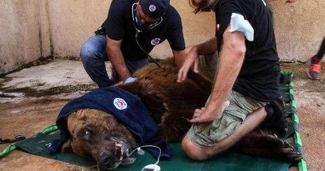 Souffrant de malnutrition, ces deux ours vont quitter leur zoo libanais pour une vie meilleure dans un refuge américain