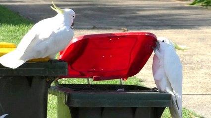 Studie über schlaue Kakadus: Vögel öffnen Mülltonnen und geben das Wissen sogar weiter
