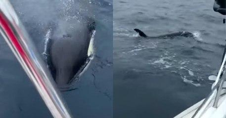 Une orque vient percuter un voilier dans le golfe de Gascogne, du jamais vu dans les eaux françaises