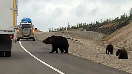 Bettelnde Bären: Hungrige Waldbewohner bedrängen Autofahrer