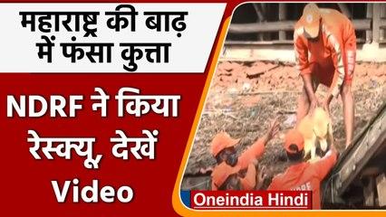Maharastra Flood: NDRF की टीम ने होटल की छत पर फंसे Dog का किया Rescue | वनइंडिया हिंदी