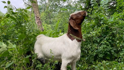 Goats Act As Living Weed Wackers In Overgrown NYC Park