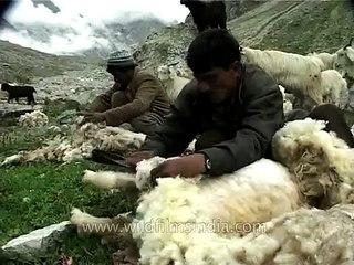 Sheep Shearing in a Himalayan valley