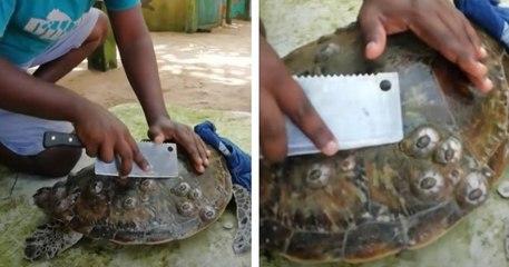 Sri Lanka : cet homme aide les tortues marines en enlevant les parasites fixés sur leurs carapaces