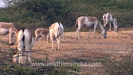 Family meal for wild Asses, Gujarat