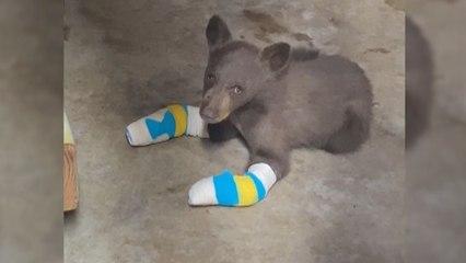 Bei Waldbrand an Pfoten verletzt: Kleiner Bär in Kalifornien wird wieder aufgepäppelt