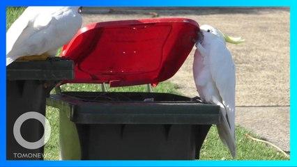 透過社會互動 澳洲鳳頭鸚鵡學會掀開垃圾桶