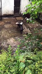 Decade-long ban for Todmorden man who left dogs fighting in filthy backyard