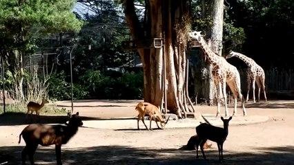 Krisis Imbas PPKM, Kebun Binatang Bandung Potong Angsa dan Rusa untuk Pakan Harimau