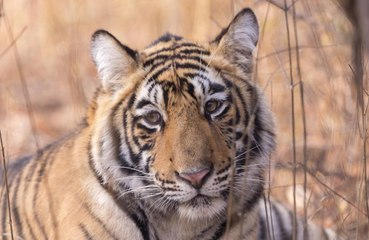 Tiger in Texas declared as world's oldest