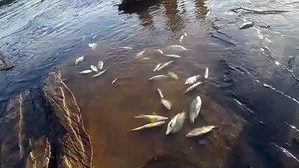 Indígenas denunciam aumento da mortalidade peixes no Rio Pará