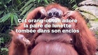 Un orang-outan adore la paire de lunettes tombée dans son enclos