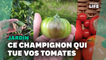 Avec le mildiou, les jardiniers amateurs en ont gros sur la tomate