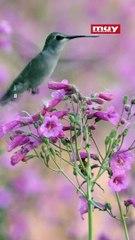 Conoce todo lo  que no sabías de los colibríes