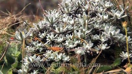 Sikkim's rare alpine flora_ gentians and more!