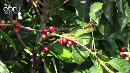 Coffee Farmers Decry Low Yields Due To Irregular Weather
